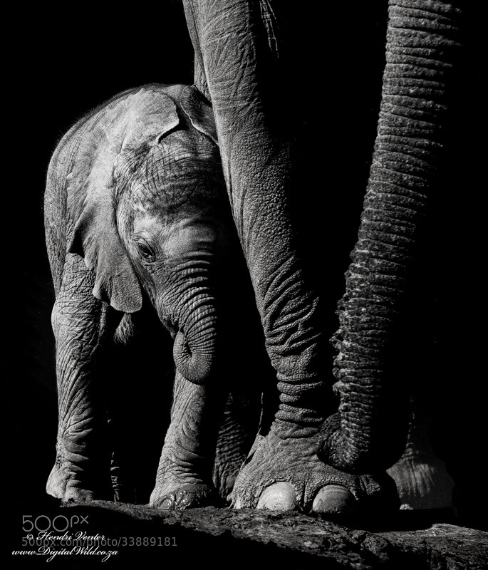 Photograph Baby Elephant by Hendri Venter on 500px