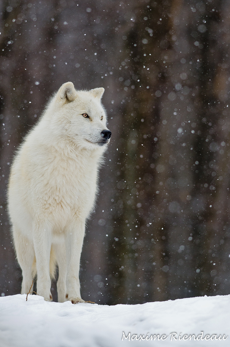 Photograph Let it snow by Maxime Riendeau on 500px