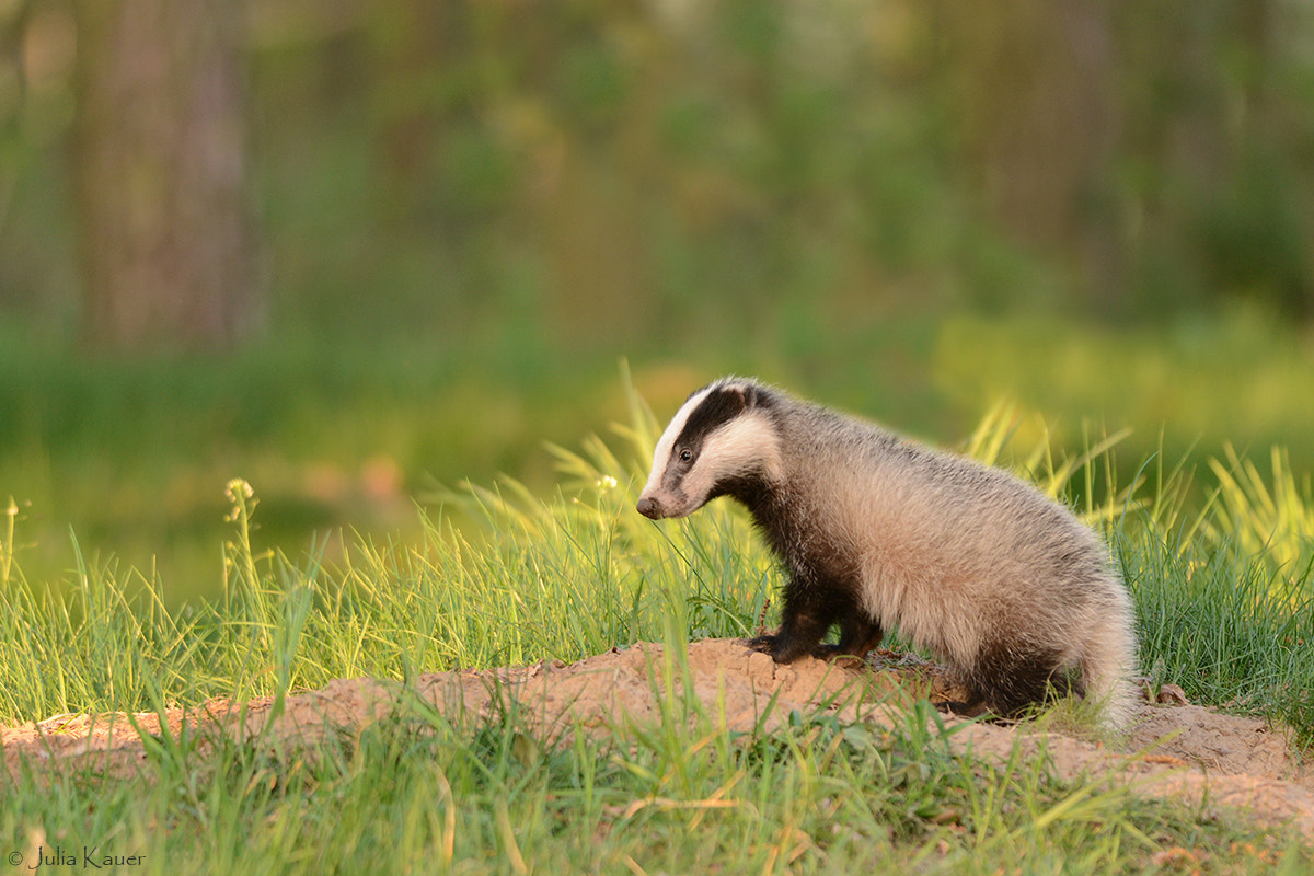 Photograph Young Badger- a few weeks old by Julia Kauer on 500px