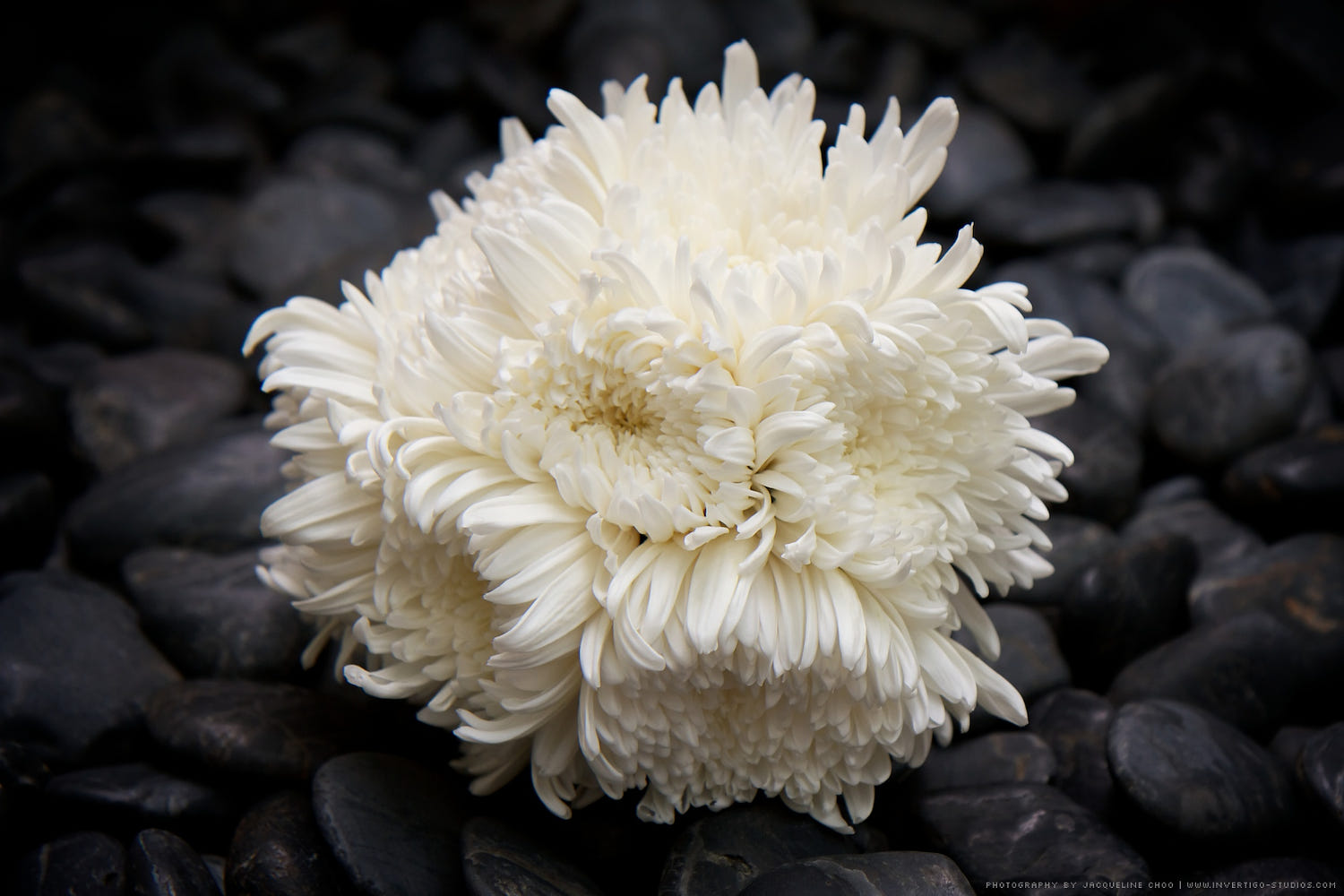white chrysanthemum bouquet by jacqueline choo  photo, Beautiful flower