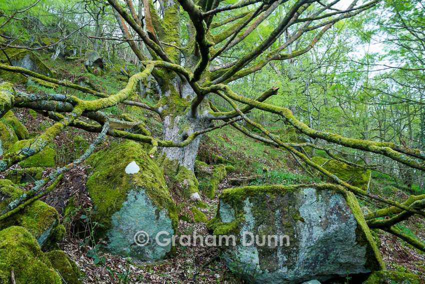 Photograph Old sycamore, Hay Wood - Peak District by Graham Dunn on 500px