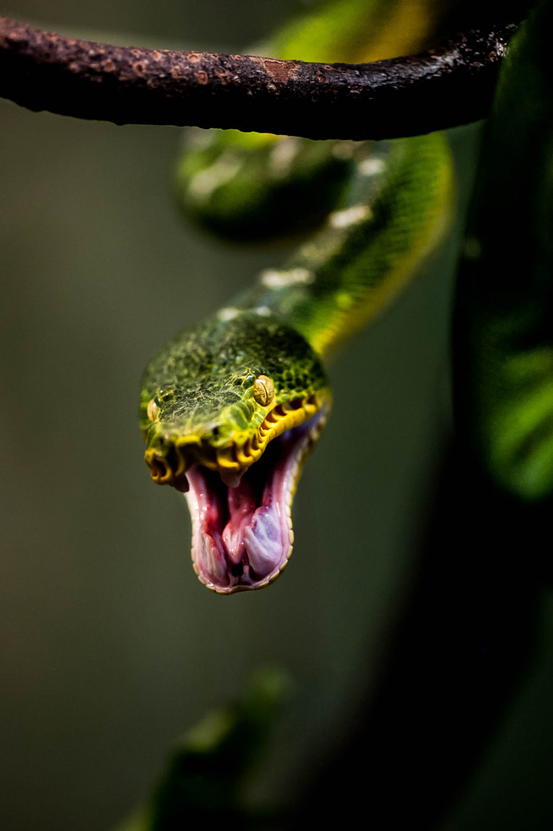 Photograph Snake Attack! by Justin Lo on 500px