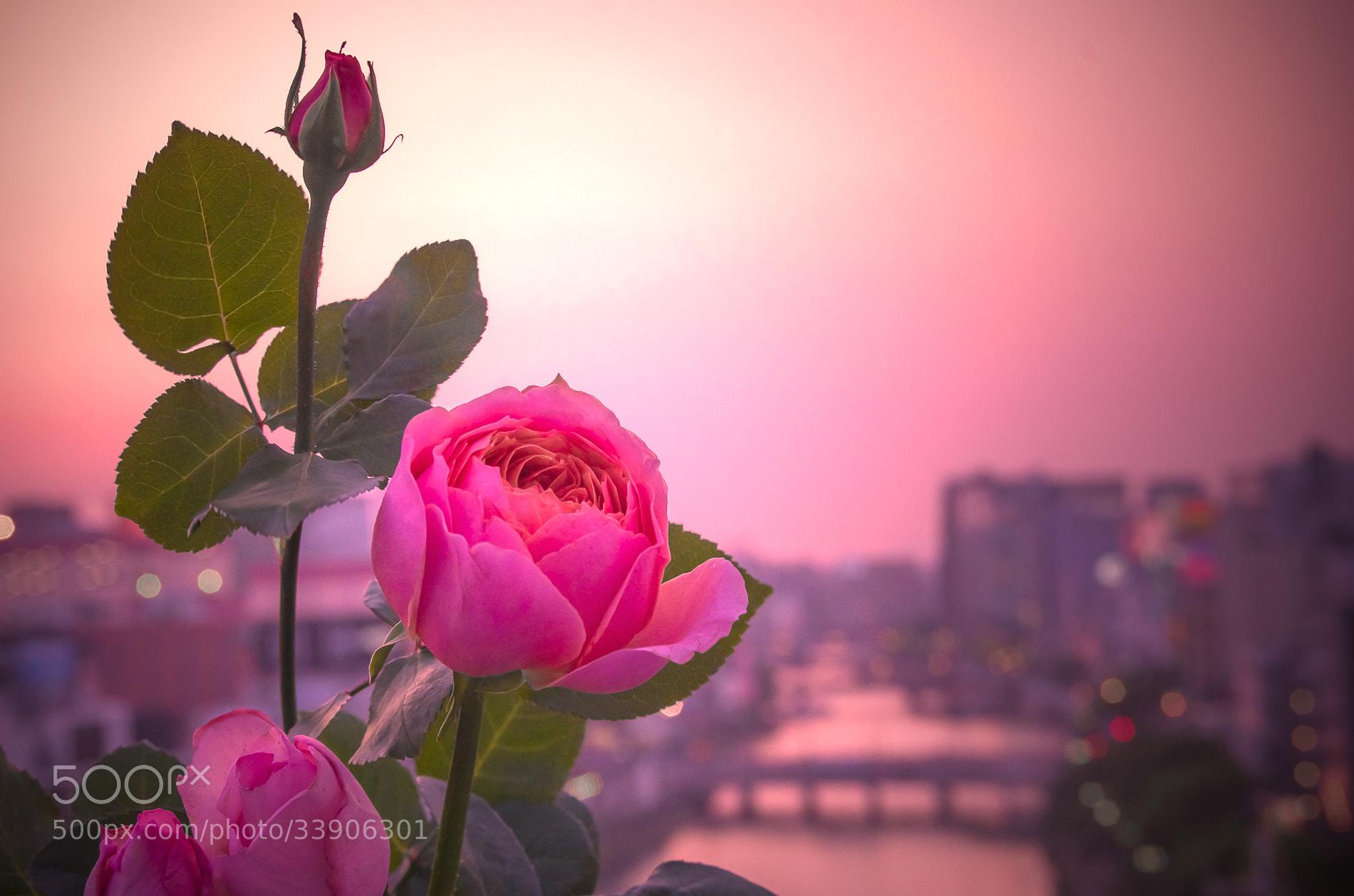Photograph Rosy Sunset by Sachiko Kawakami on 500px