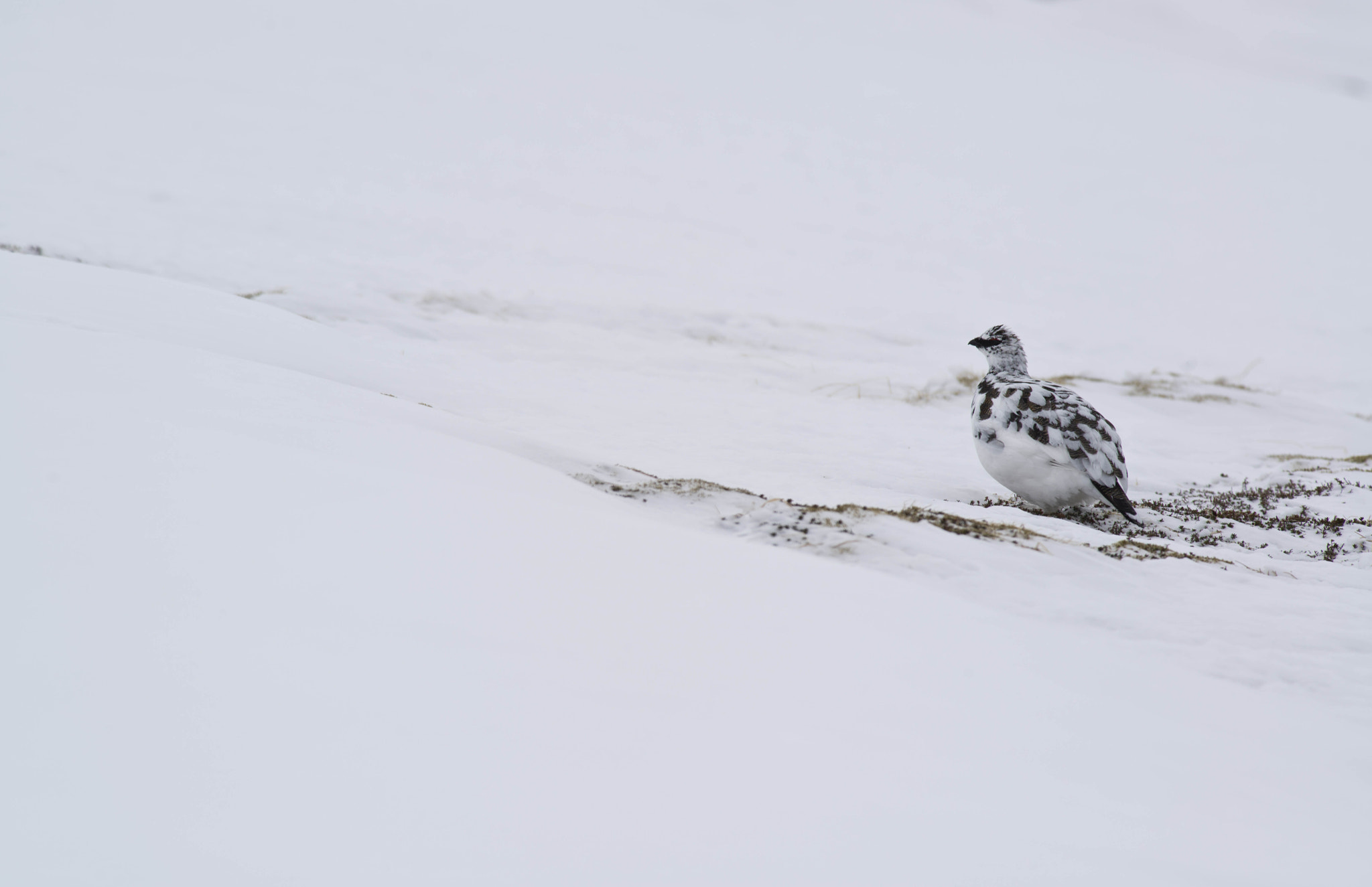 Photograph Ptarmigan watching by Dominic Boulding on 500px
