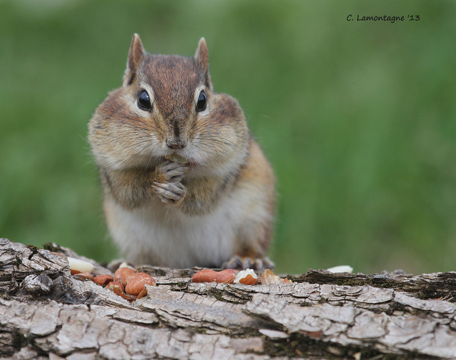 Eastern Chipmunk in my yard. He's very friendly and climbs in my lap. I think I'll have to come up with a name for him :)