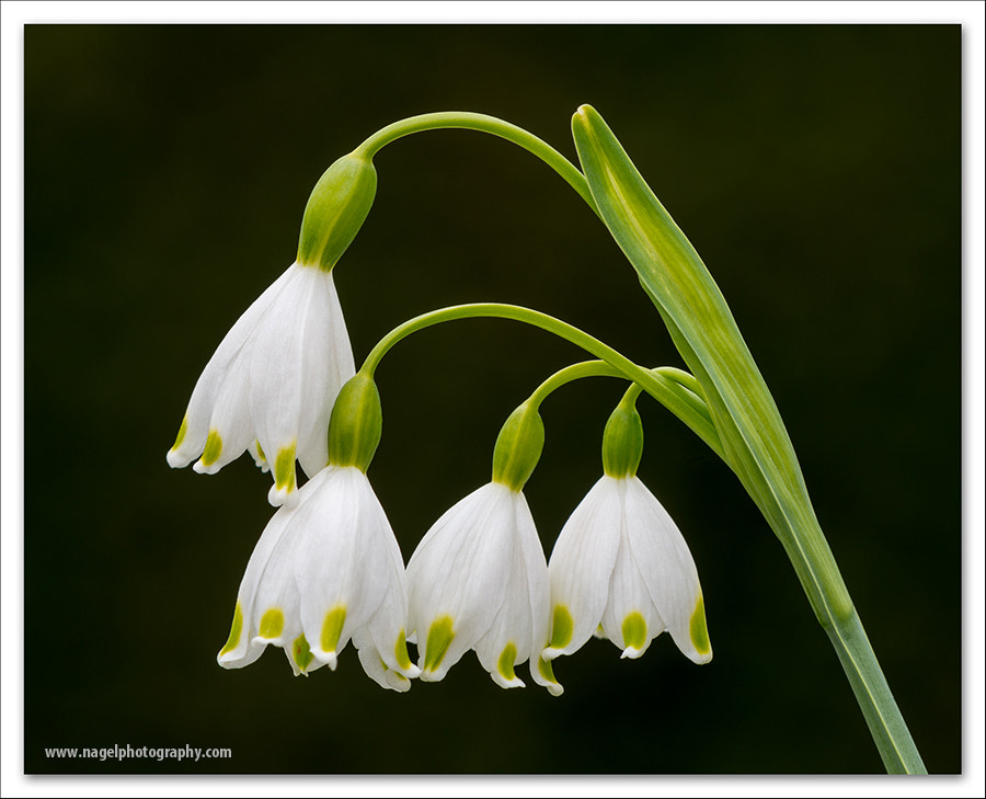 Photograph Hanging lilies by Glenn Nagel on 500px