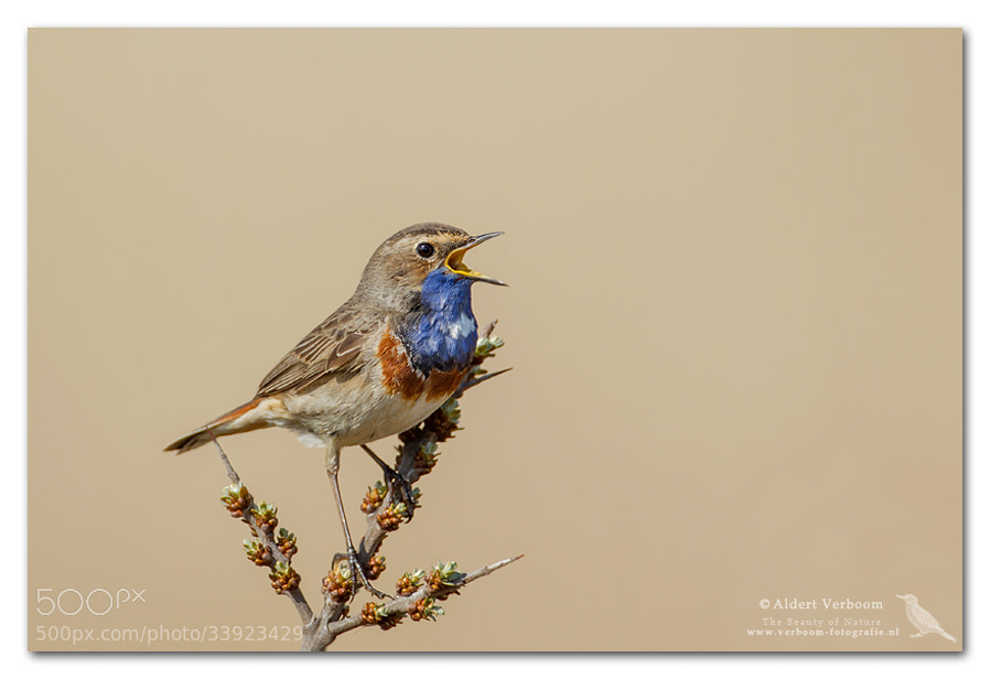 Photograph Singing Bluethroat by Aldert Verboom on 500px