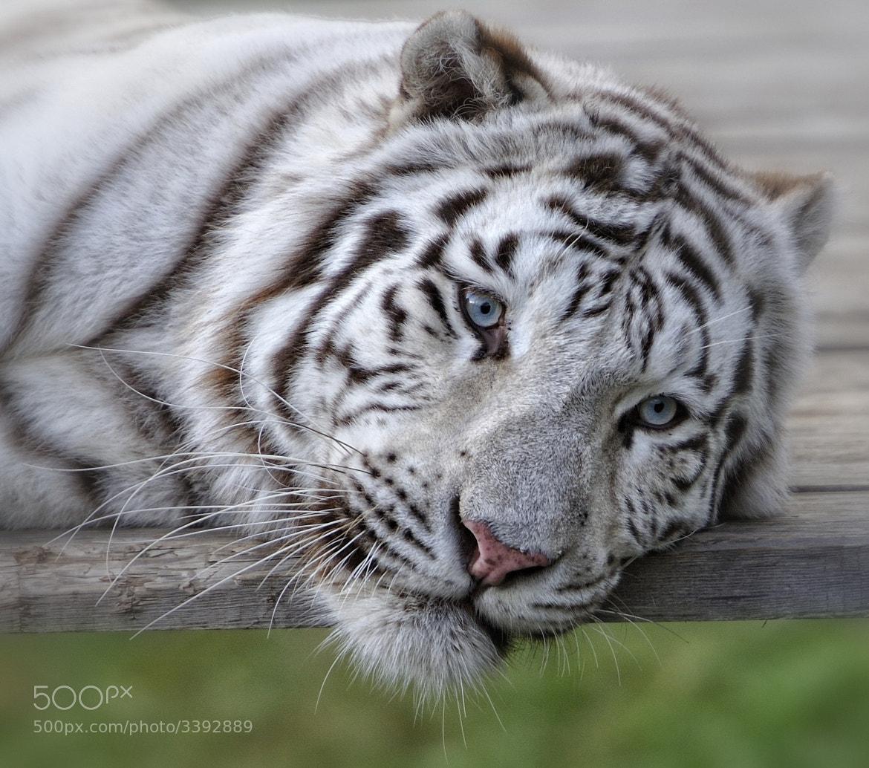 Photograph White Tiger Portrait by Josef Gelernter on 500px