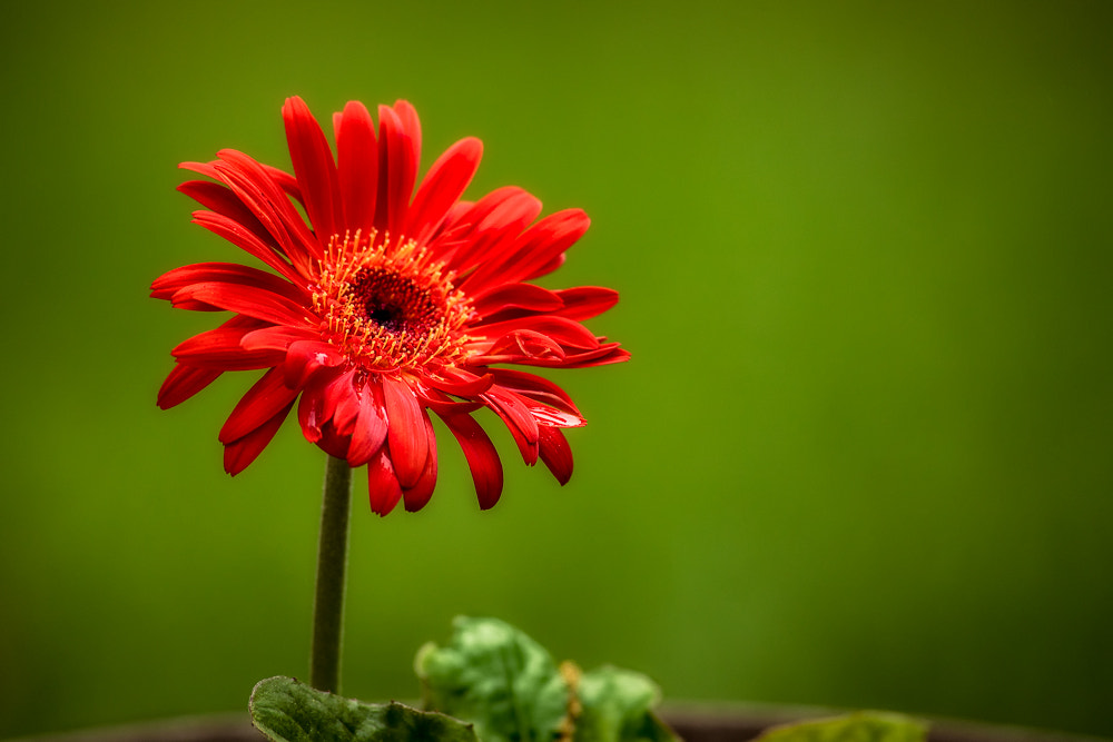 Photograph Potted Gerbera Daisy by David Kelly on 500px