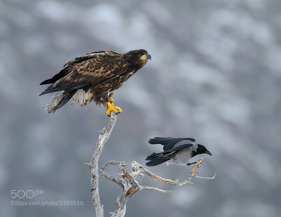 Juvenile White-tailed Eagle gets company of a Hooded Crow. It's always the same: If there are is prey around the Eagles will never be there alone. Some Crows, Magpies and/or Gulls are there also to pick a piece of the meat. Shot taken from a hide in the mountains near Flatanger in Norway.  Best regards and have a nice weekend,  Harry