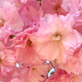 Japanese cherry flowers