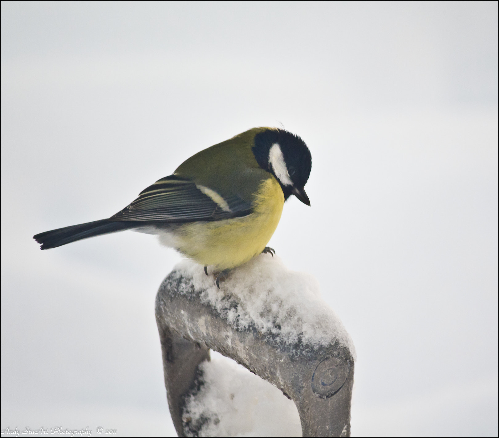 Photograph Great Tit by Andy Stuart on 500px