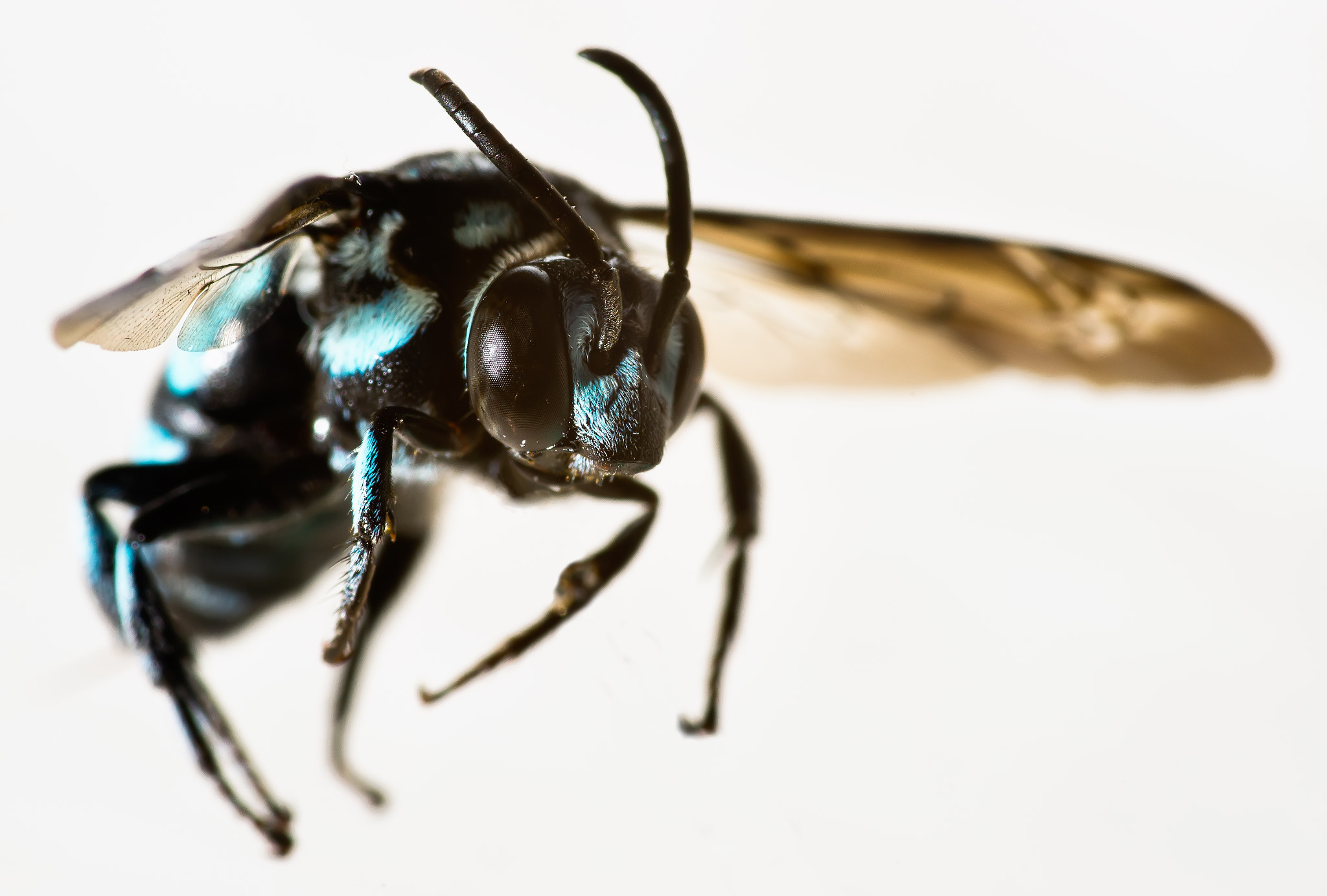 Photograph Buzzy Blue Bee by Dean Mullin on 500px