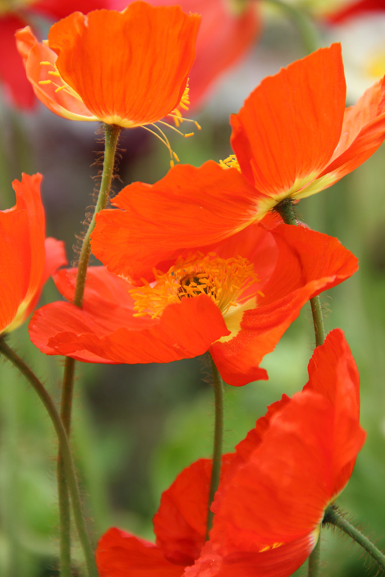 Photograph Red-Orange Poppies by Michele Wambaugh on 500px