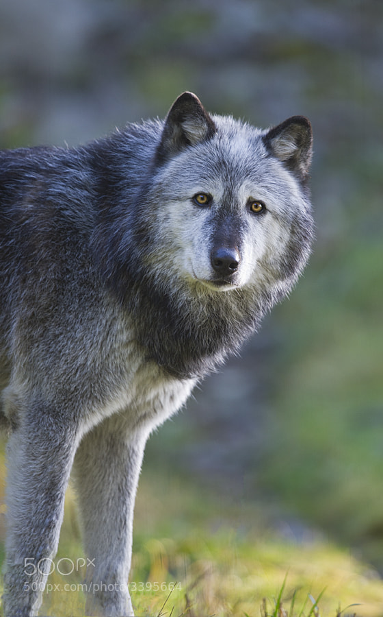 Photograph Wolf by Dan Newcomb on 500px