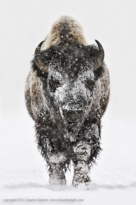 Photograph Bison head-on in snow by Charles Glatzer on 500px