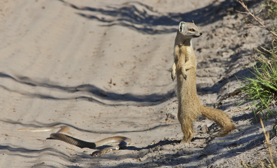 A yellow Mongoose checks out the area before finishing off this Cape Cobra, taken in Zibilianja, Botswana