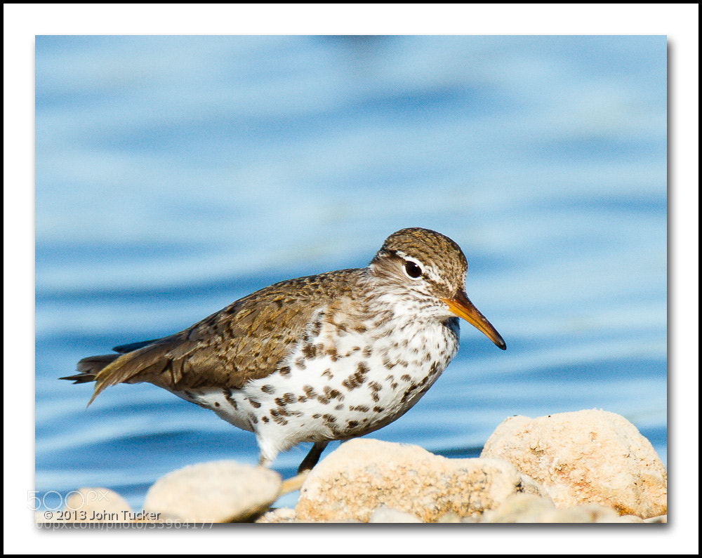 Photograph Spotted Sandpiper in Breeding Plumage by John Tucker on 500px