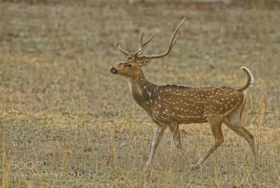 This animal is more commonlt known in the west as Spotted Deer and has been used for centuries to decorate the lawns of Mansions. This one lives in Bandhavgragh India