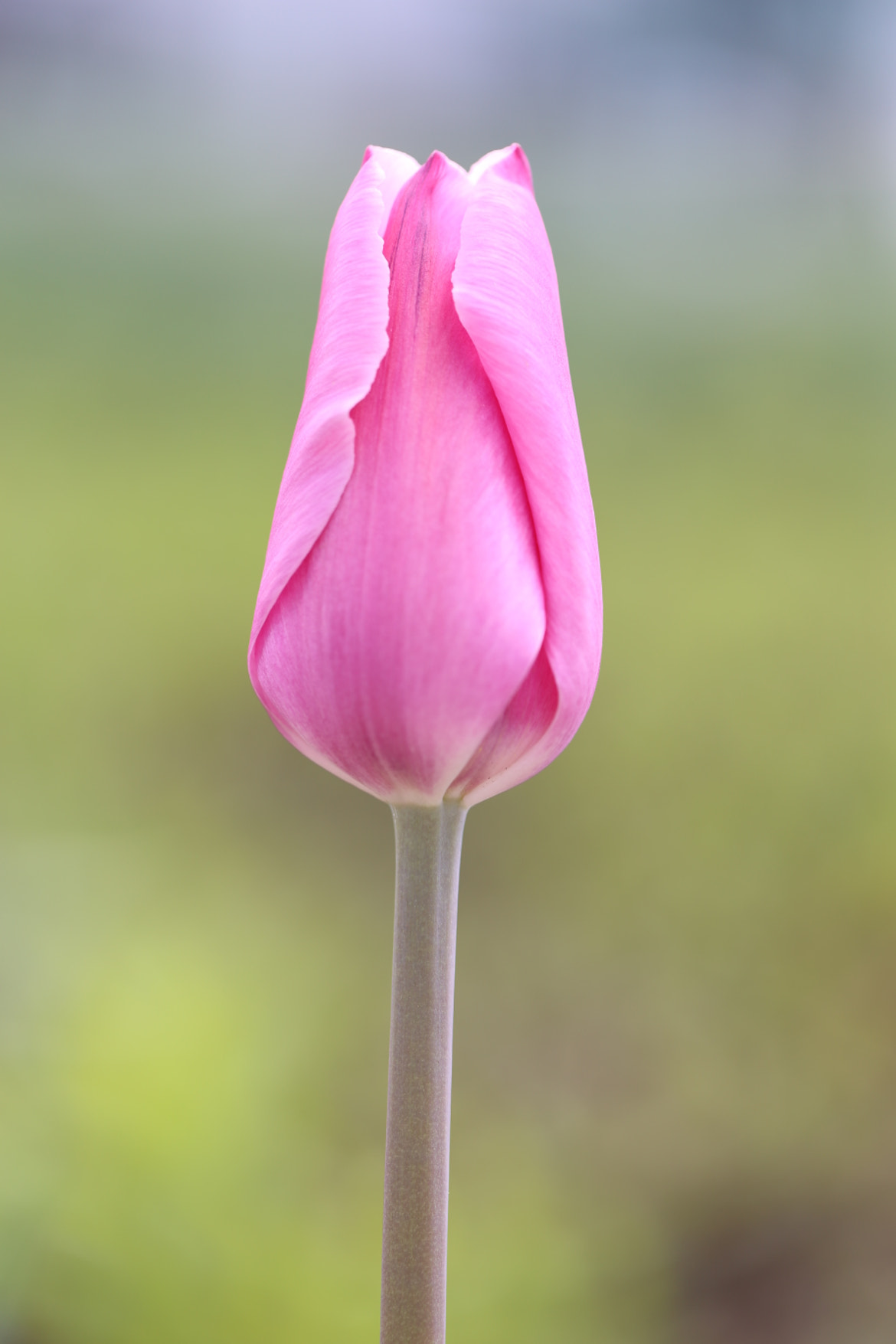 Photograph Pink Tulip by Anuj  Raj on 500px