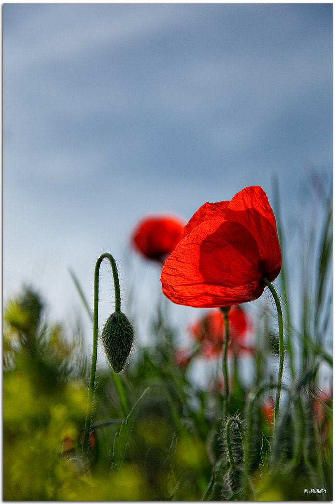 Photograph Amapolas by Alberto Benavente Vicente on 500px