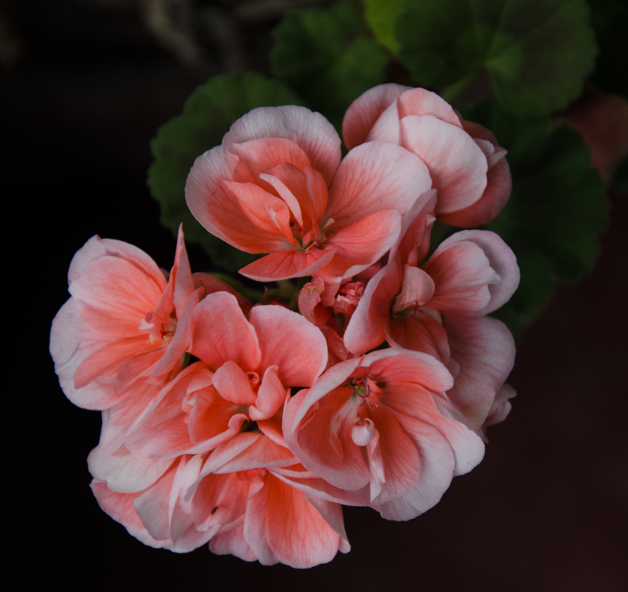 Photograph Geranium 2 by Brian Sanders on 500px