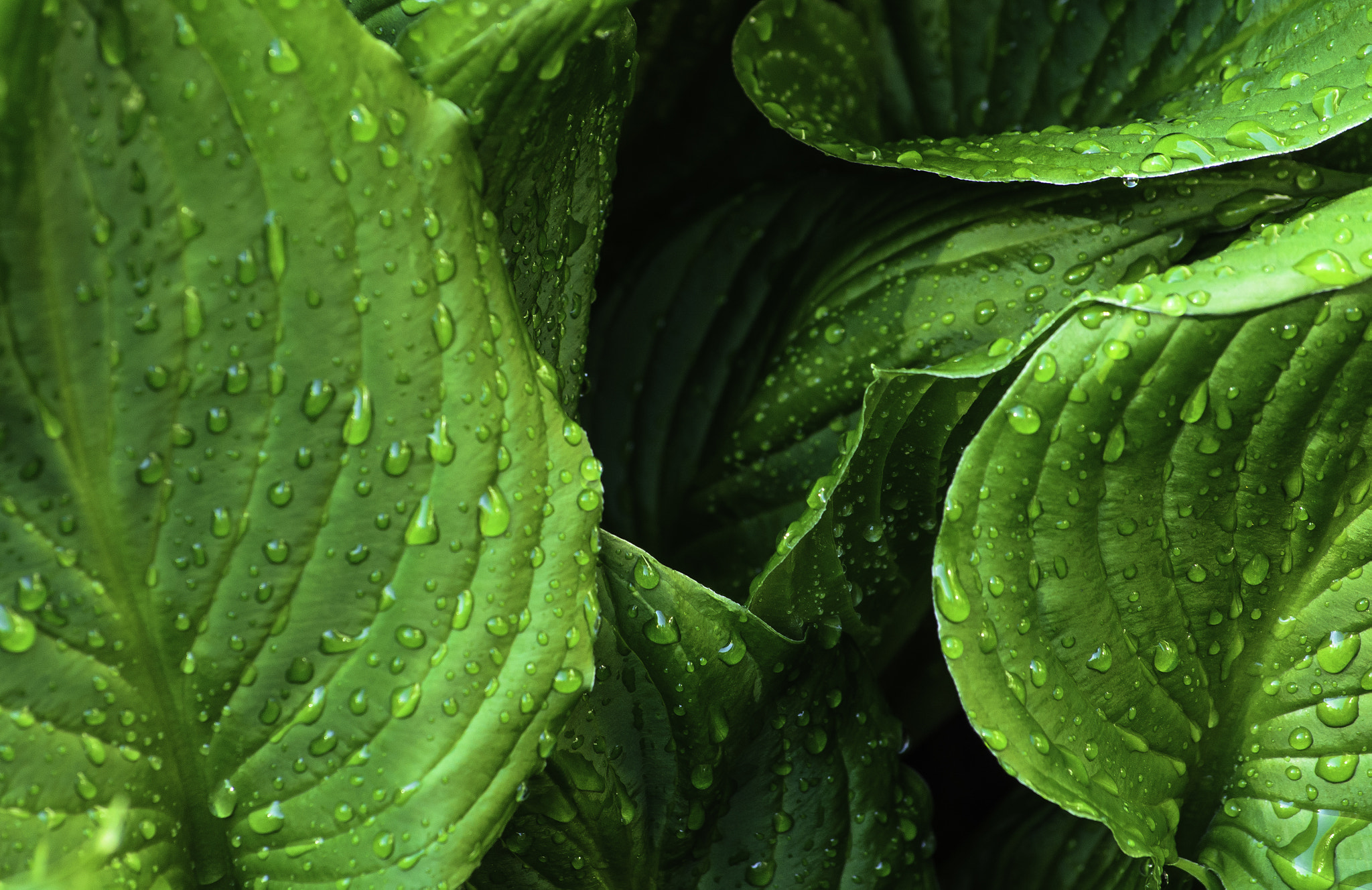 Photograph Hosta Leaves by Jim Molloy on 500px