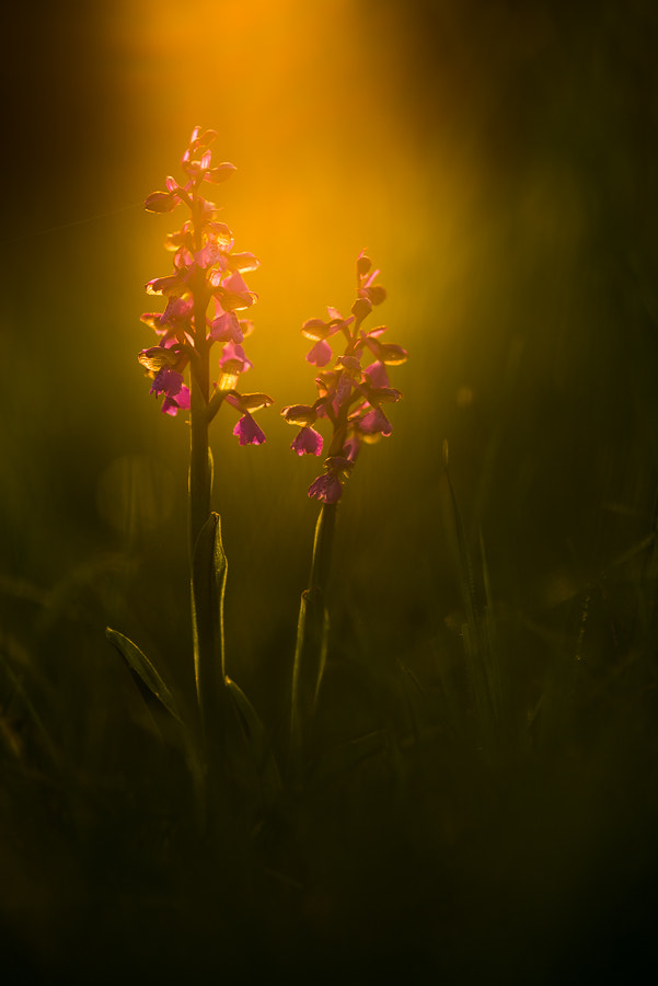 Photograph Orchis morio by Stephan Amm on 500px