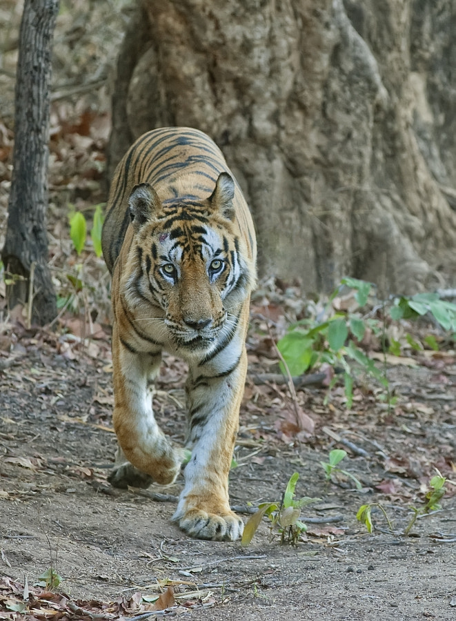 Another image from our final sighting of B2 in Bandhavgargh NP, India