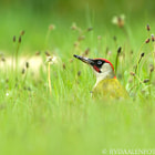 Green (Woodpecker) as Grass
