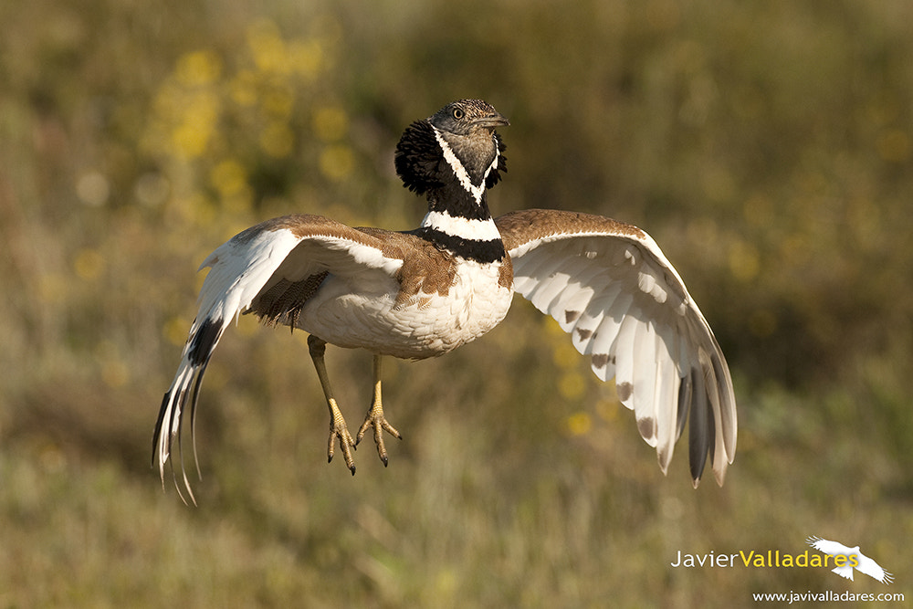 Photograph Little Bustard by Javier Valladares on 500px