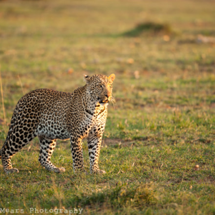Male Leopard at Sunset