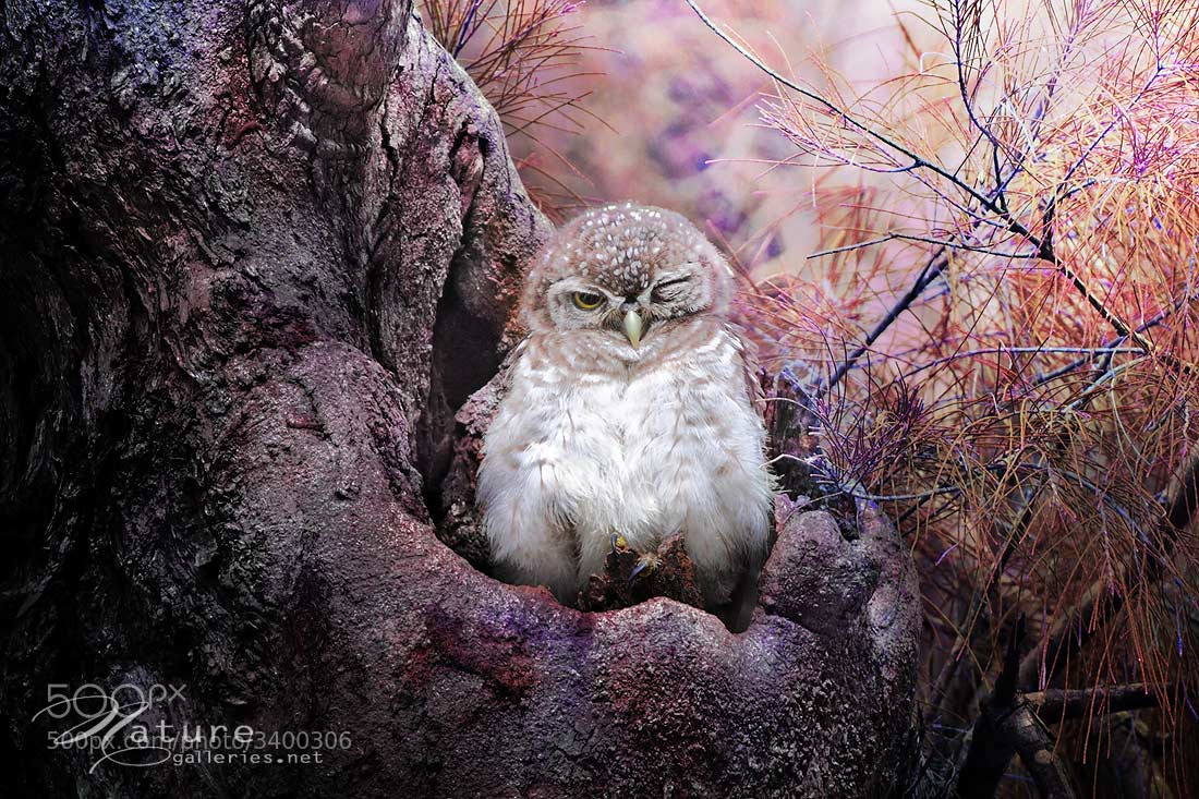 Photograph Spotted Owlet 4 by Sasi - smit on 500px