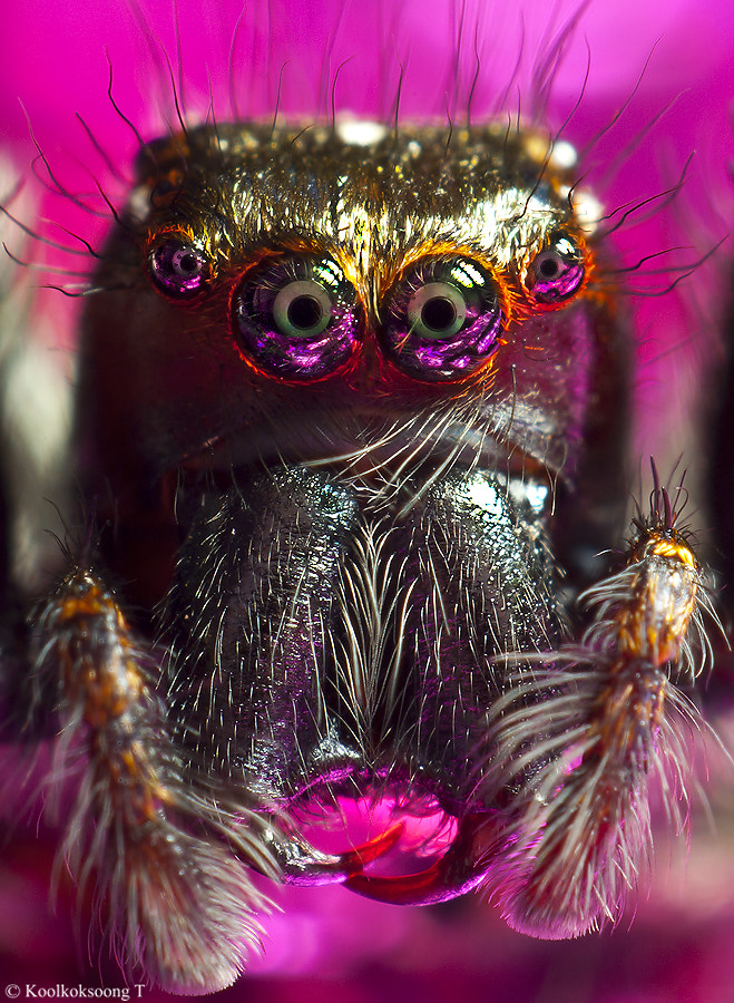 Photograph Portrait jumping spider by Namo Gallery on 500px