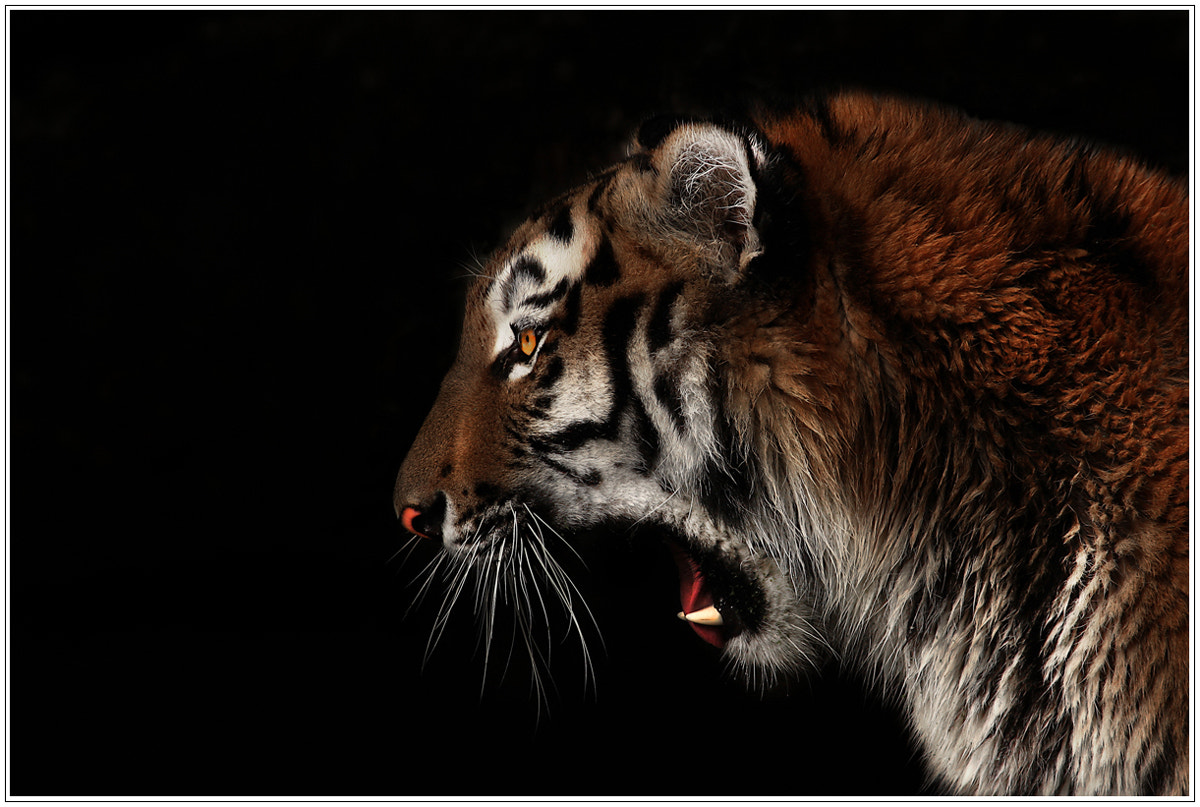 Photograph Tiger Portrait! by Alex  on 500px