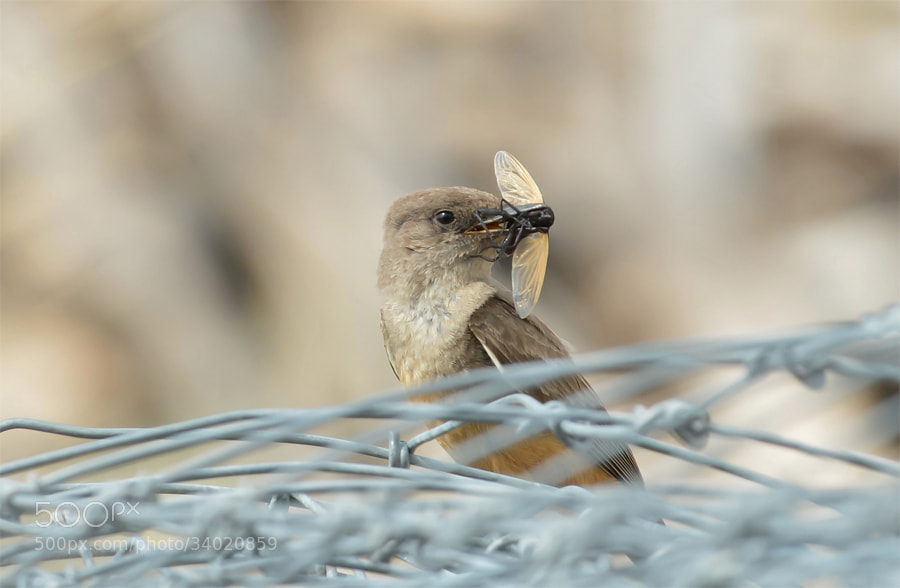 Photograph Say's Phoebe.  by Luis Jaime Leal on 500px