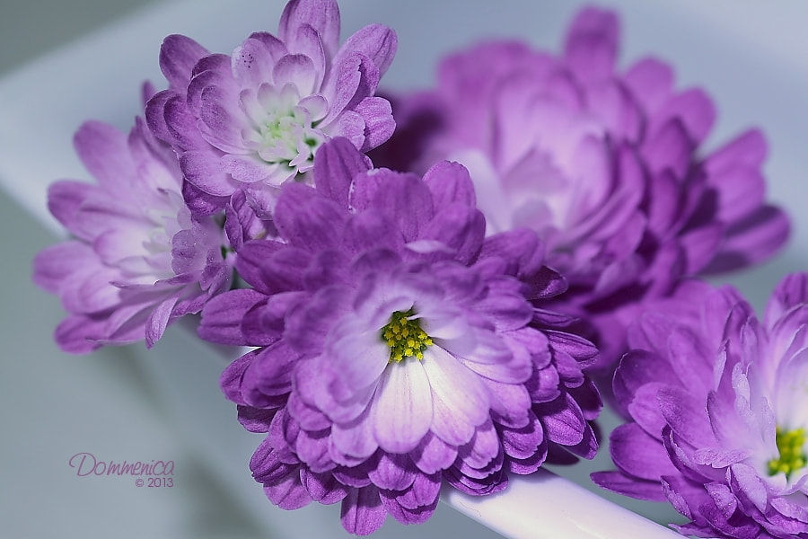 Photograph Violet chrysanthemum by Dommenica on 500px