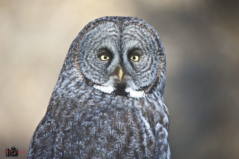 Photograph Great Grey Owl (Strix nebulosa) by Neil Young on 500px