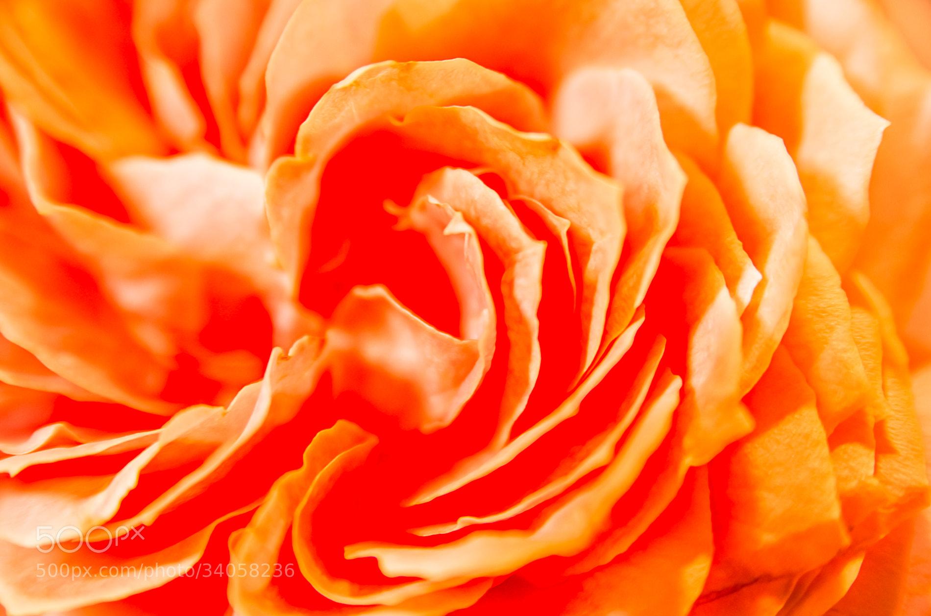 Photograph Rose by Sachiko Kawakami on 500px