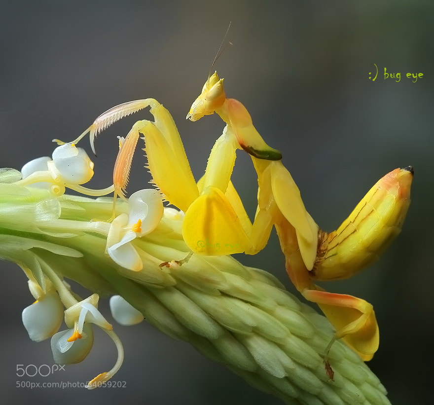 Photograph Orchid Mantis by bug eye :) on 500px