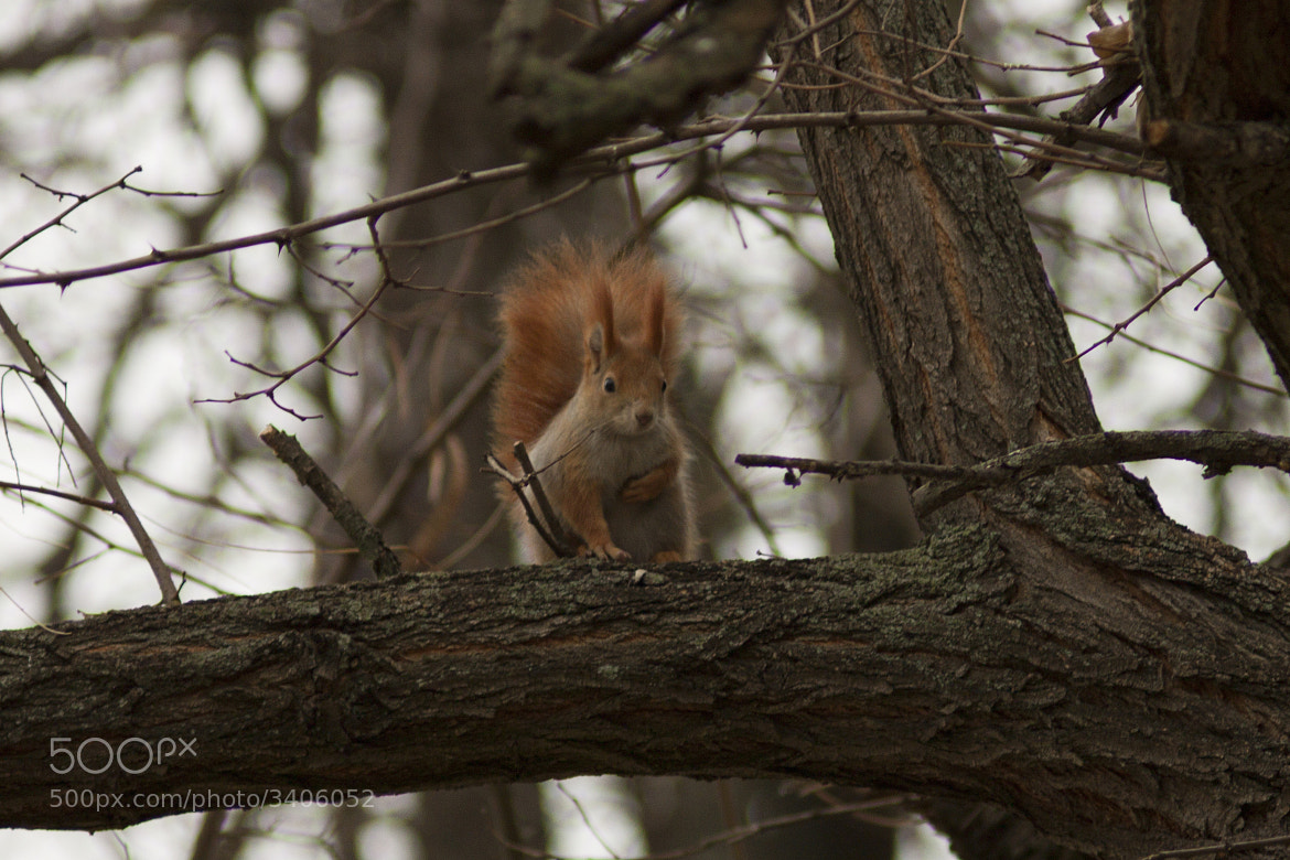 Photograph Squirrel by Andrei Dolghier on 500px