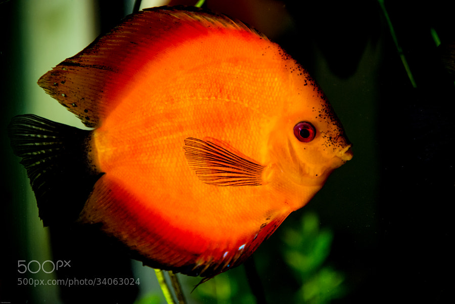 Discusfish in my aquarium