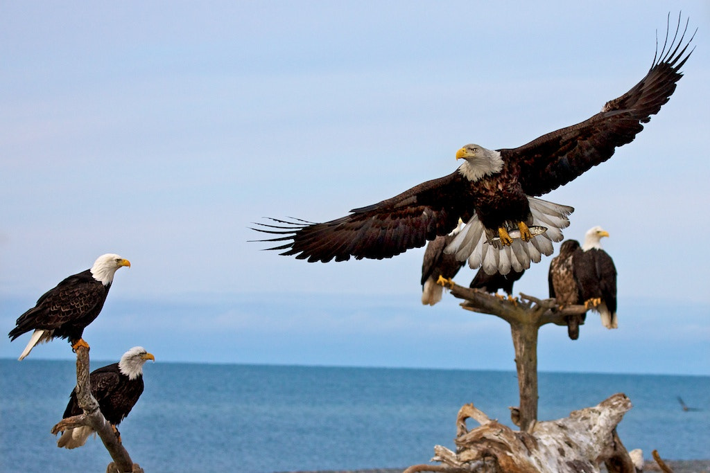 Photograph Homer Ak Eagles by Buck Shreck on 500px