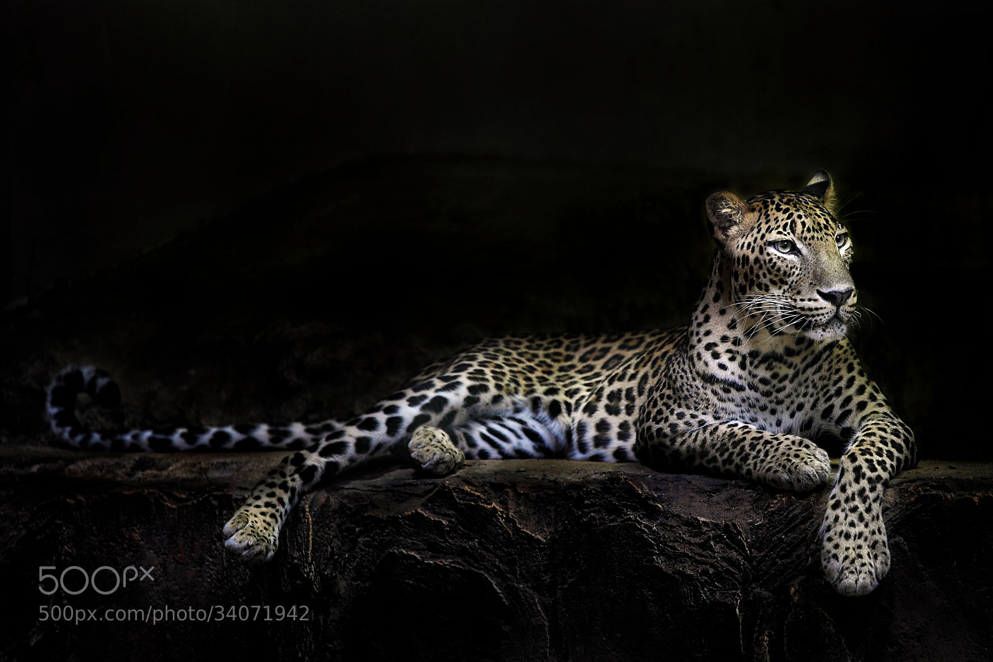Photograph Leopard by Ivan Lee on 500px