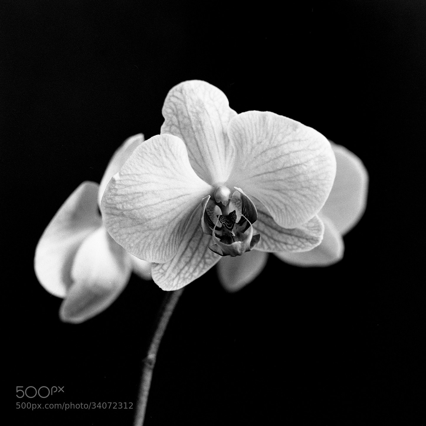 Photograph Orchid by Ahmet Yeşil on 500px