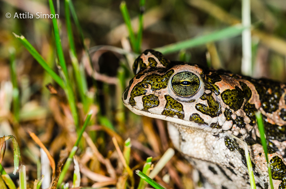 Photograph Green toad by Attila Simon on 500px
