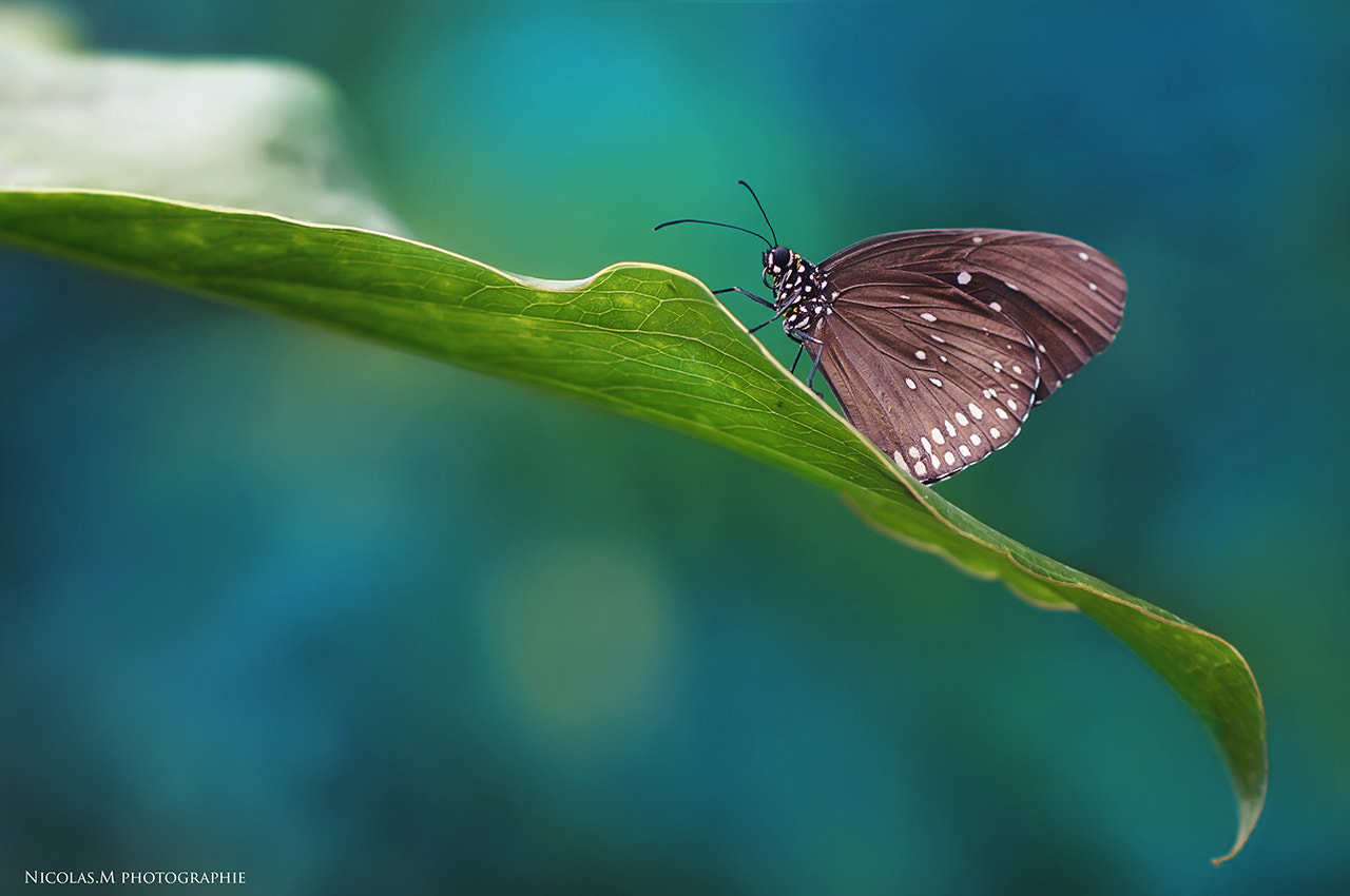 Photograph Butterfly by Nicolas.M  photographie on 500px