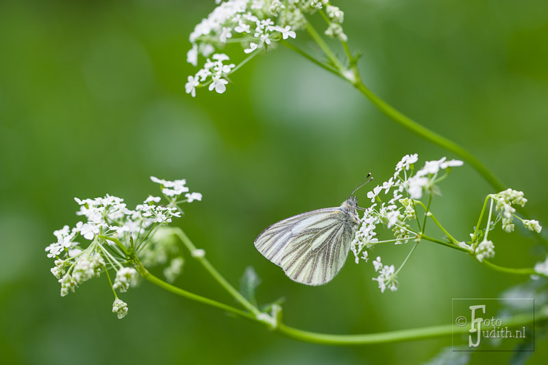 Photograph veined white butterfly by Judith Borremans on 500px