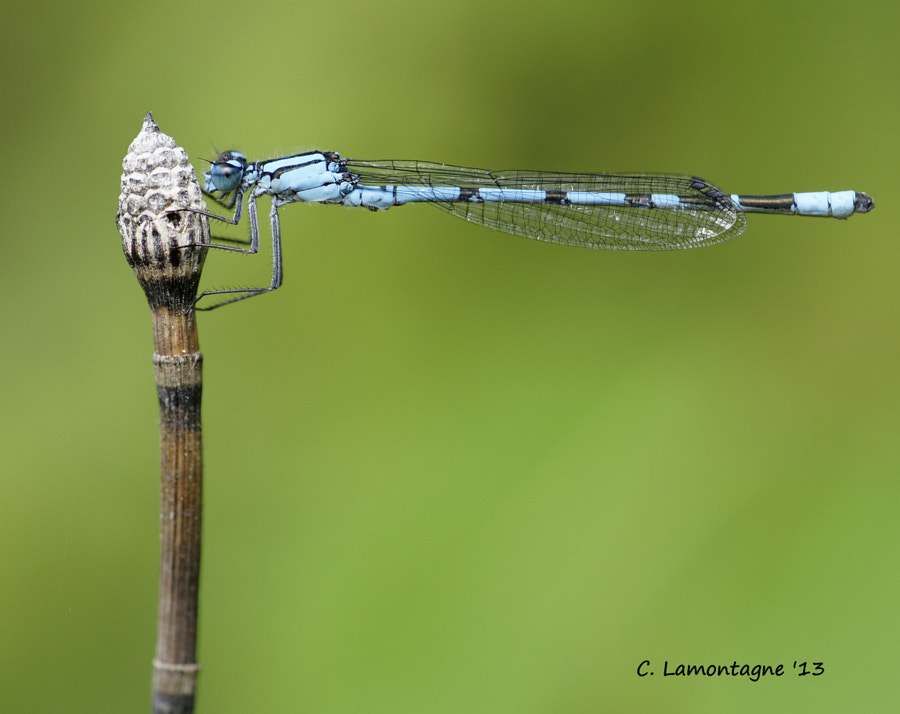 Common Blue Damselfly on Horsetail Bamboo. These damselflies are approximately one inch in length.