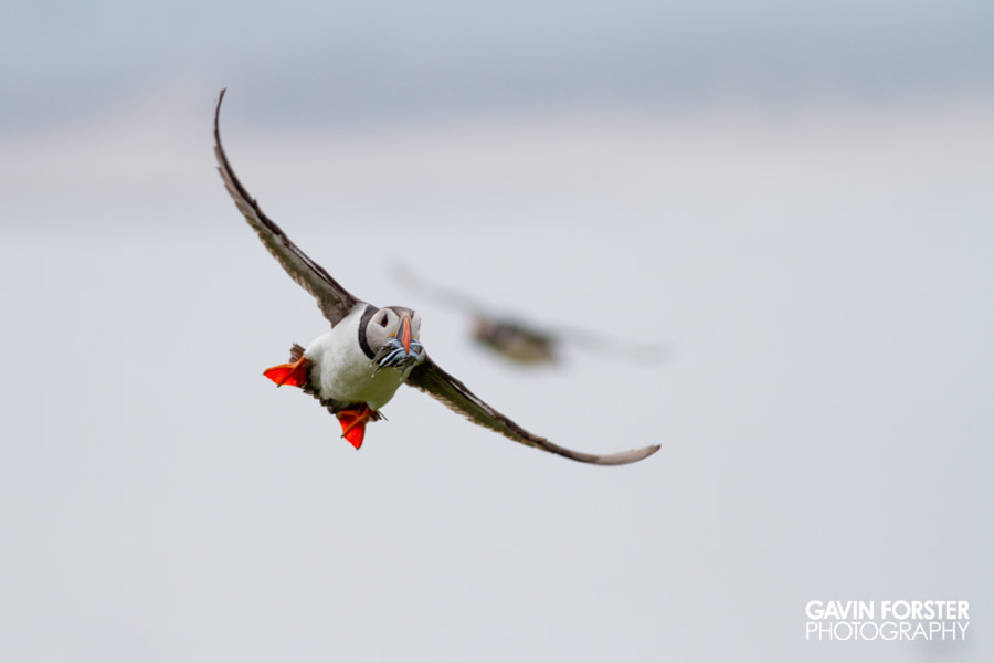 Photograph farnes puffin by Gavin Forster on 500px